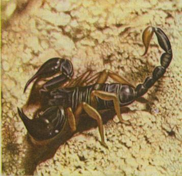 Black scorpions poisonous