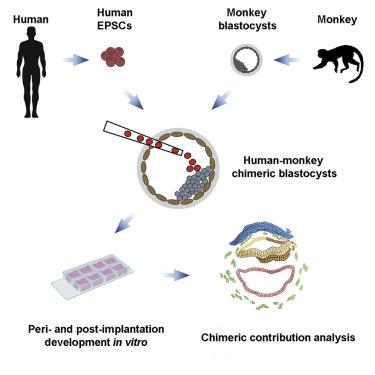 Биологи создали гибридные эмбрионы человека и макаки